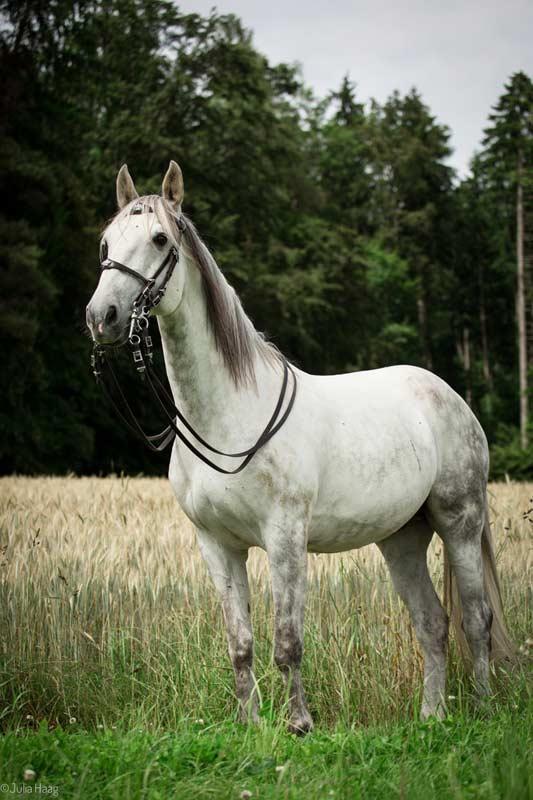 Gezäumtes Pferd steht im Gras